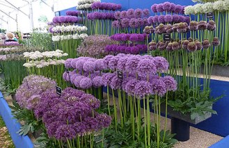 7371-allium-display-at-chelsea